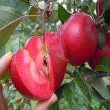 红色之爱  红色之爱苹果苗