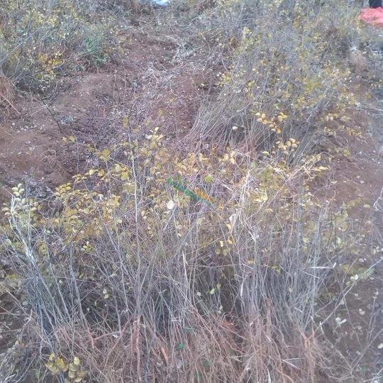 馬甲子苗鐵籬笆刺苗30公分左右
