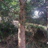 ?#26412;?9-21公分红豆杉大树