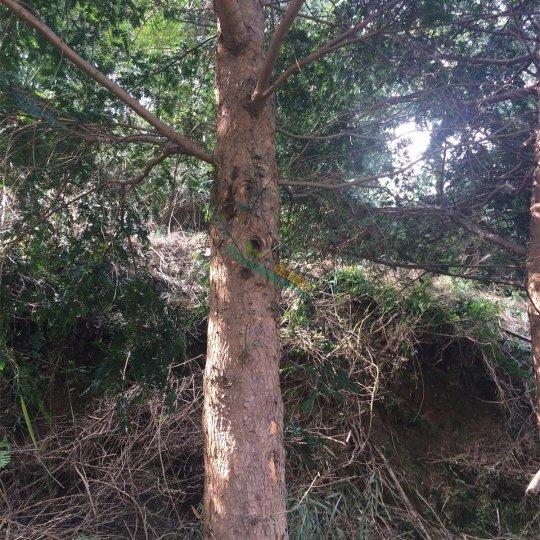 直径19-21公分红豆杉大树