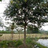 樸樹 15公分