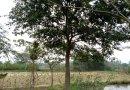 朴树 15公分