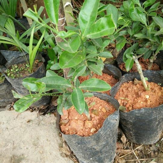 土柠檬果树苗嫁接品种