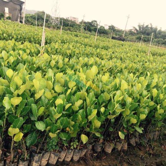 四季菠萝蜜苗