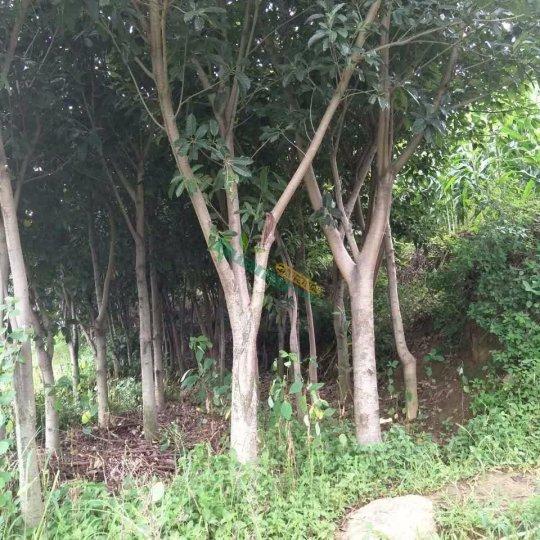 黃桷樹  黃葛樹
