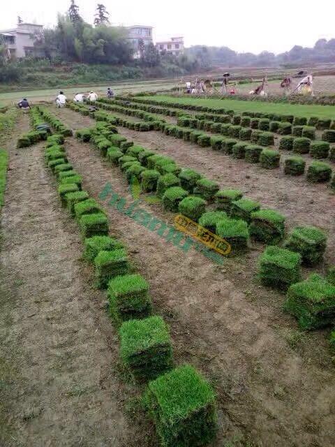 湖南郴州马尼拉草坪直销