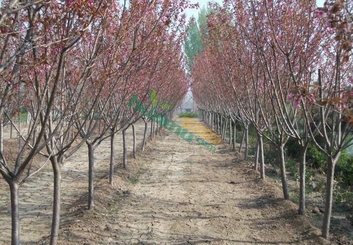 2-5公分樱花,朴缘园林樱花价格
