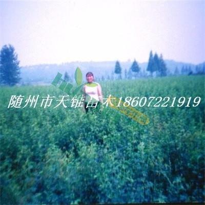 各規格木瓜海棠光皮木瓜湖北隨州天錐苗木