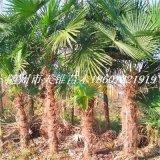 2米棕榈苗
