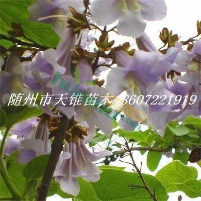 1-5年生泡桐苗隨州天錐苗木