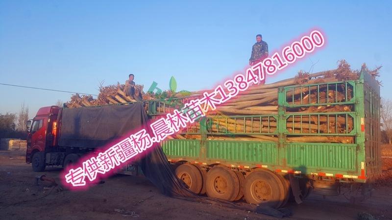 销售新疆杨8.5公分