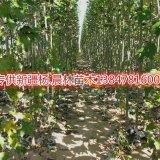 销售新疆杨3公分