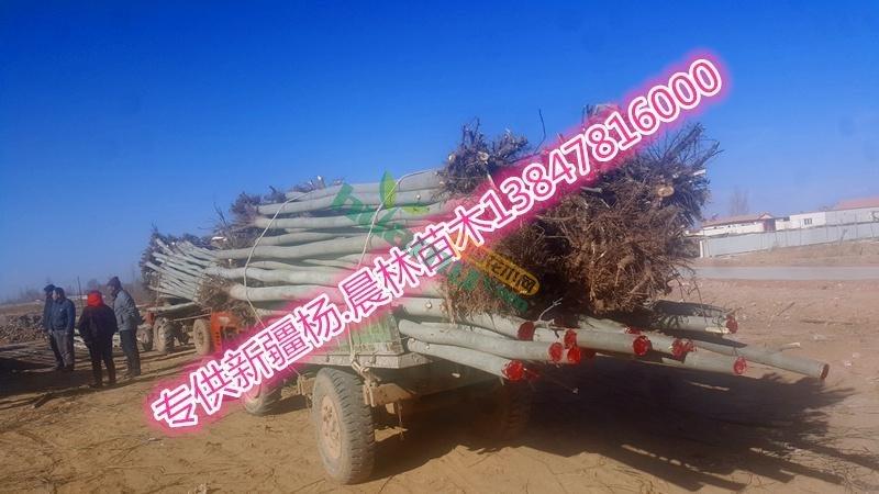 销售新疆杨8公分