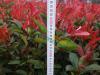 红叶石楠二年工程苗