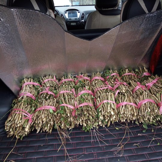 刺梨苗扦插枝条