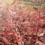三季红红枫