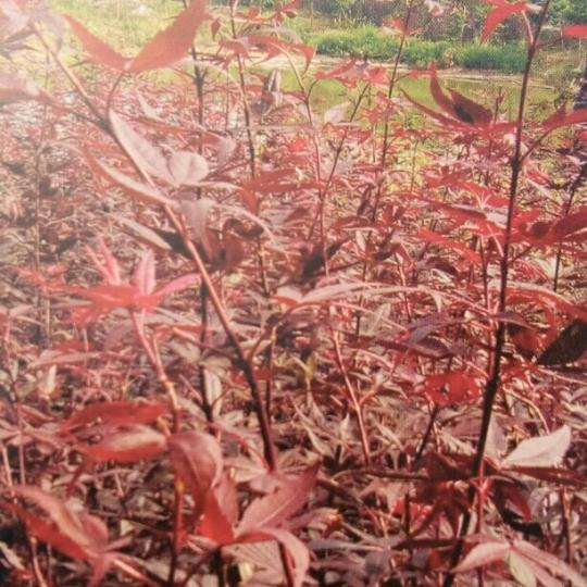 三季紅紅楓