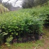 高度50公分+红豆杉杯苗
