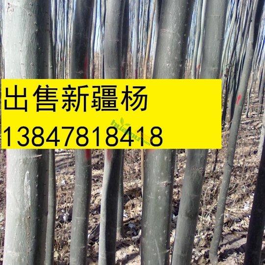 新疆楊種植基地