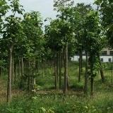 河南最大最便宜的楸树基地