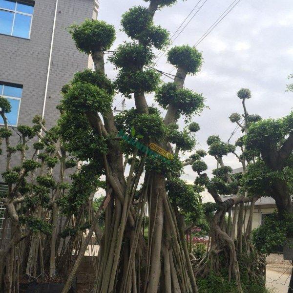 造型榕樹,榕樹樁頭,價格1000