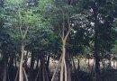黄花风铃木4-20公分的