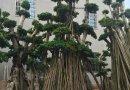 造型榕树桩景,榕树桩头价格