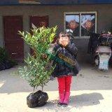 2-3公分竹柏树