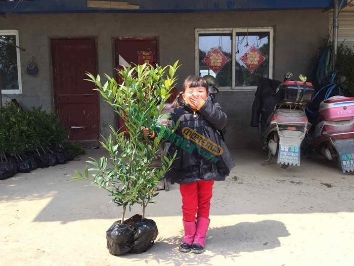2-3公分qq德州扑克称号树驱蚊树处理中