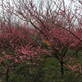 10公分红梅价格,四川红梅种植基地