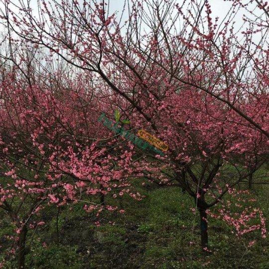 10公分紅梅價格,四川紅梅種植基地