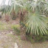 高度3米棕榈价格