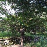 8公分鸡爪槭,四川鸡爪槭价格