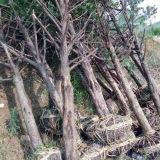 红豆杉征地苗