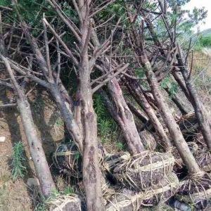红豆杉10公分征地苗
