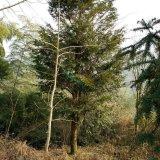 红豆杉20公分