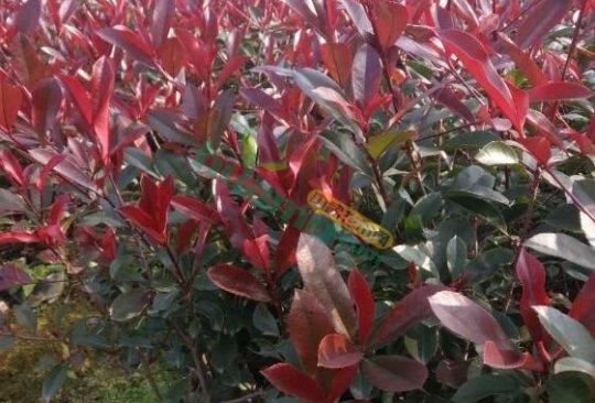 红叶石楠工程绿化苗