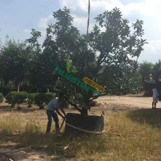 精品全冠移植柚子树 香泡树