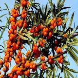 沙棘果树苗