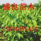 山西嫁接核桃苗、山西核桃树、核桃树苗品种