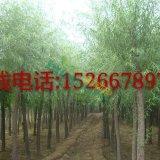 20公分柳树价格