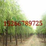 10公分柳树价格
