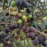 油橄榄大树