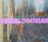 专供新疆杨12公分