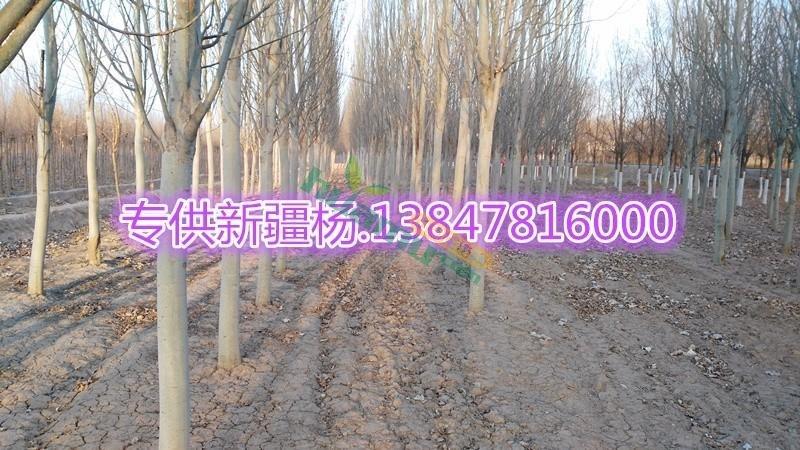 专供新疆杨7公分