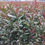2017年 金华红叶石楠小杯苗 红叶石楠工程苗 红叶石楠绿化苗木 红叶石楠色块苗