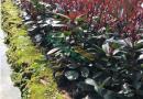 金华红叶石楠绿化工程苗价格红叶石楠营养钵苗红叶石楠图片红叶石楠色块苗行情