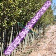 新疆杨苗木出售