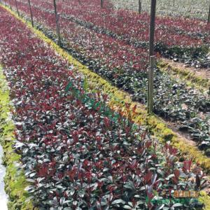 金华红叶石楠色块苗