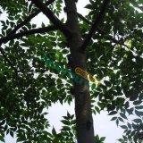 9公分苦楝树